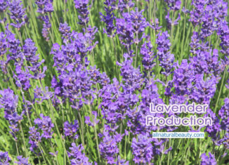 Lavender Production