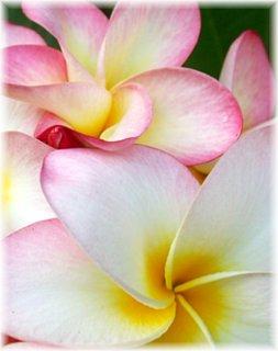 Alexandra Avery - Plumeria Flower