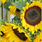 Sunflower Oil for Beauty Care
