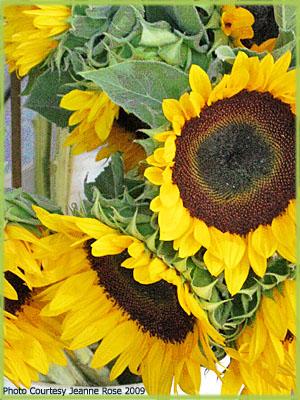 Sunflower Oil for Beauty Care