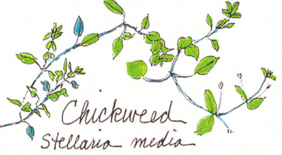 Learn about Chickweed - from Gail Faith Edwards