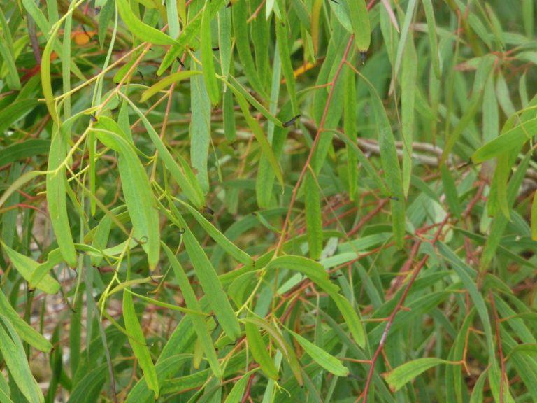 E.nicholii
